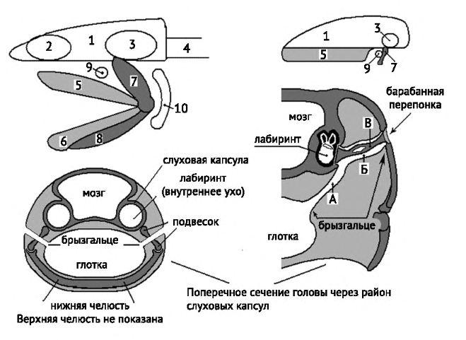 Капсула слуховая