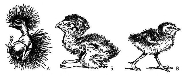 Забота о потомстве у птиц и развитие птенцов Зоология Реферат  Рис 180 Птенцы в возрасте один день из Наумова 1973 по Формозову А птенцовый тип Б промежуточный тип В выводковый тип