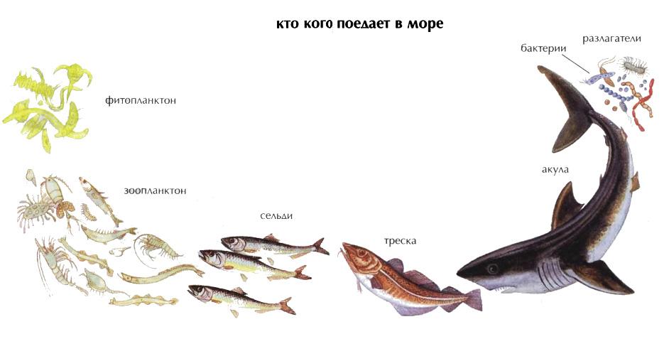 Экологическая пирамида Экология Реферат доклад сообщение  Рис 5 Кто кого поедает в море