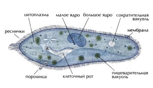 Инфузория туфелька характеристика и строение Микробиология  Строение