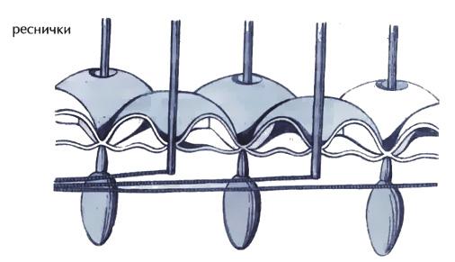 Инфузория туфелька характеристика и строение Микробиология  Рис 21 Строение поверхностного слоя тепа инфузории туфельки при сильном увеличении