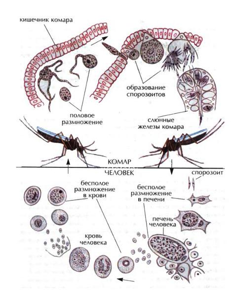 Паразитические простейшие споровики книдоспоридии и  Рис 25 Жизненный цикл кровяного споровика плазмодия в организмах комара и человека