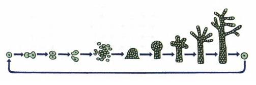 Особенности простейших Микробиология Реферат доклад сообщение  Слияние простейших животных