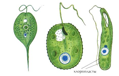 Особенности простейших Микробиология Реферат доклад сообщение  Рис 29 Растительные жгутиконосцы