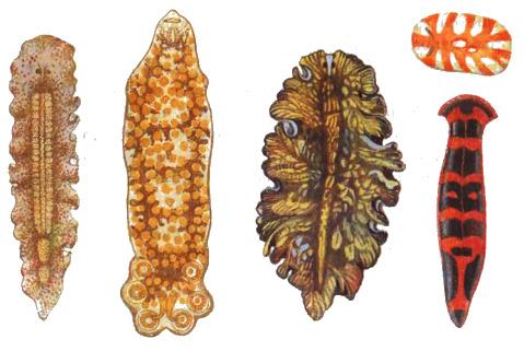 Плоские черви характеристика Зоология Реферат доклад  Рис 46 Различные виды плоских червей