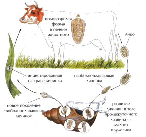 Оплодотворенные яйца печеночного сосальщика выводятся из кишечника промежуточного хозяина
