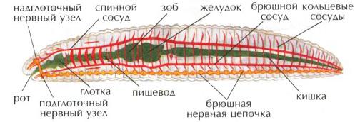 Дождевой червь характеристика и строение Зоология Реферат  Внутреннее строение дождевого червя Пищеварительная нервная кровеносная система дождевого червя