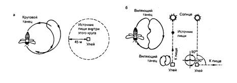 Ориентация и коммуникация танец пчел Зоология Реферат доклад  Ориентация и коммуникация медоносной пчелы а круговые движения пчелы разведчицы указывающие на близкое расположение корма б виляющие движения