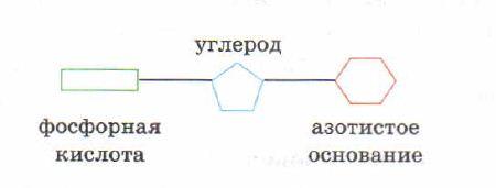 Нуклеиновые кислоты структура и функции Биохимия Реферат  Молекула ДНК состоит из двух разнонаправленных полинуклеотидных цепей спирально закрученных одна вокруг другой в виде двойной спирали