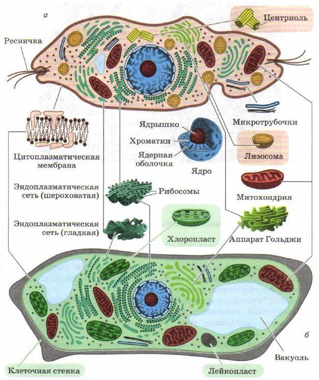 Доклад эукариоты и прокариоты 2744