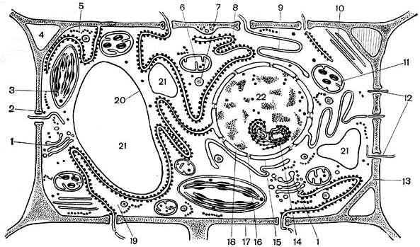 Строение растительной клетки Цитология Реферат доклад  Современная обобщённая схема строения растительной клетки составленная по данным электронно микроскопического исследования разных растительных клеток 1