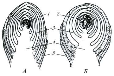 Почки виды строение и функции Ботаника Реферат доклад  Схема строения закрытых вегетативной А и генеративной Б почек продольный срез 1 конус нарастания 2 соцветие в зачаточном состоянии