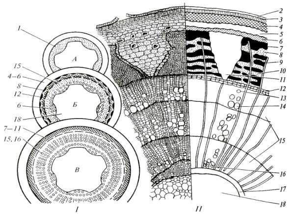 и схема строения стебля на