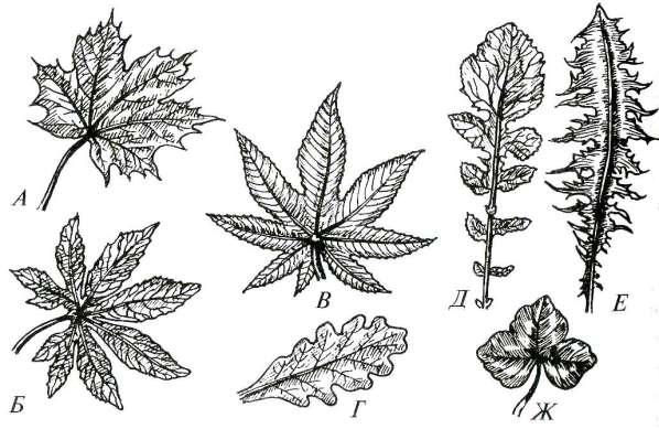 Типы простых листьев по расчленению листовой пластинки понятие о гетерофиллии