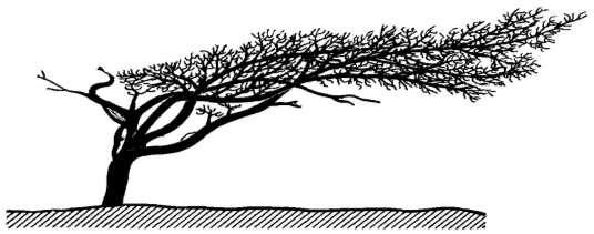 Влияние воздуха на растения роль Экология Реферат доклад  Рис 61 Флаговая форма сосны pinus sylvestris на побережье Балтийского моря близ Ростока