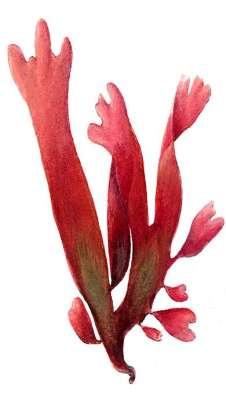Реферат по биологии красные водоросли 6916