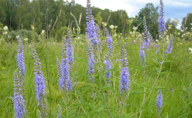 Растения луга Экология Реферат доклад сообщение кратко  Низинные луга