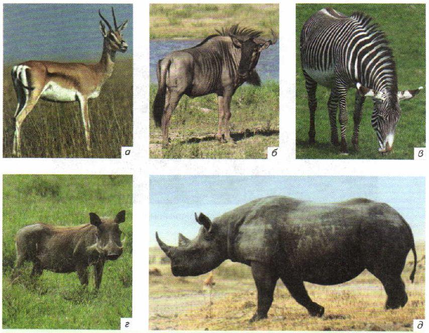 Вода в жизни животных Зоология Реферат доклад сообщение  Животные африканских саванн а антилопа топи б антилопа гну в зебра г бородавочник д чёрный носорог