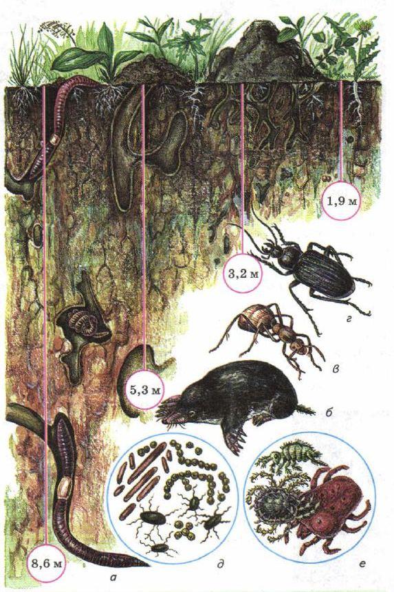 Почва образование состав свойства Ботаника Реферат доклад  Рис 180 Почвенные организмы а дождевые черви б кроты в муравьи г жуки д почвенные бактерии е мелкие насекомые клещи
