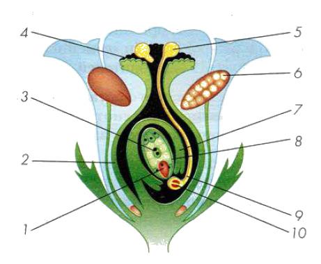 Реферат на тему двойное оплодотворение у цветковых растений 5498