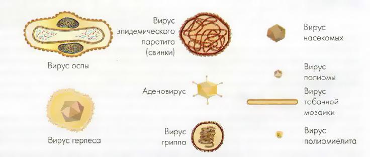 Вирусы как возбудители заболеваний Микробиология Реферат  Рис 25 Схематическое изображение болезнетворных вирусов