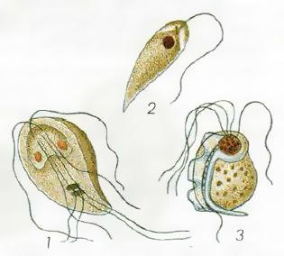 Простейшие вызывающие заболевания Микробиология Реферат доклад  Рис 55 Лямблия 1 лейшмания 2 и трихомонада 3