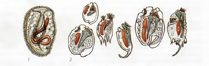 Инфузории эндобионты полезные простейшие Микробиология  Бурсария 1 простейшие из желудка копытных животных 2