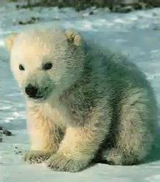 Животные и растения тундры Экология Реферат доклад сообщение  Рис 196 Белый медведь