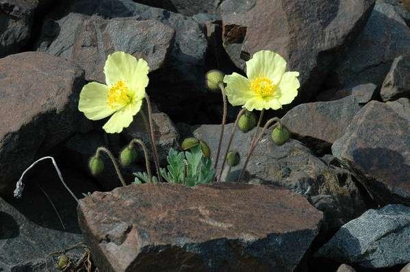 Животные и растения арктических пустынь Экология Реферат  Рис 134 Мак полярный papaver radicatum